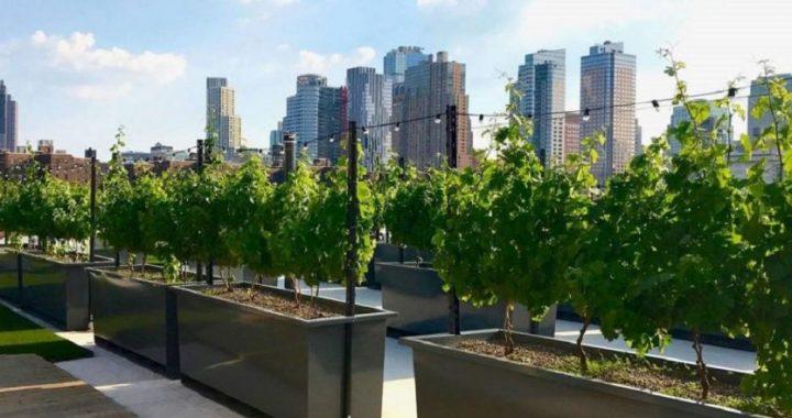 Viñas urbanas, se pueden obtener uvas para vino en terrazas de 45 m2, patios o parcelas verticales